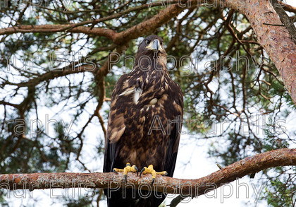 Chick-tree-1 