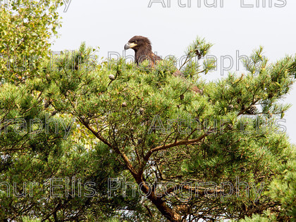 Sea Eagle Chick 3 