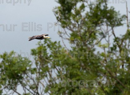 Sea Eagle Chick 4 